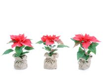 Drie poinsettiabloemen Stock Afbeelding