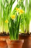 Drie potten van gele narcissen op wit Royalty-vrije Stock Foto