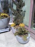 Drie potten van struiken van diverse grootte buiten de bouw royalty-vrije stock afbeelding