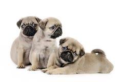 Drie pug puppy. Royalty-vrije Stock Afbeeldingen