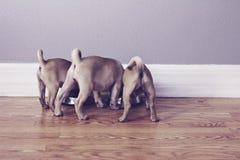 Drie pug uiteinden Stock Afbeelding