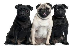 Drie Pugs het zitten Royalty-vrije Stock Fotografie