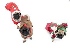 Drie Pugs van Kerstmis Stock Foto