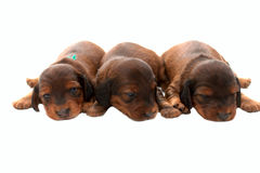 Drie puppy Royalty-vrije Stock Afbeelding