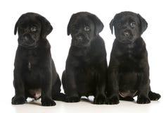 Drie puppy Stock Foto's