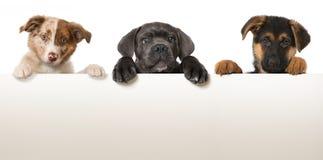 Drie puppy Stock Foto