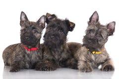 Drie puppy van de steenhoopterriër stock foto