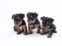 Drie puppy van de Terriër van Yorkshire stock afbeeldingen