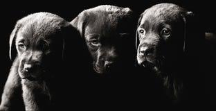 Drie Puppy van Labrador stock afbeelding