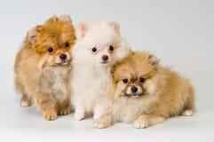 Drie puppy van ras een spitz-hond Pomeranian stock fotografie