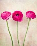 Drie ranunculus bloemen op uitstekende achtergrond Stock Afbeelding