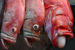 Drie redsnepper roze en rode vissen met zijn mond brede open, bij de linker grote witte bel van mondvissticks, overzees voedsel v Royalty-vrije Stock Fotografie