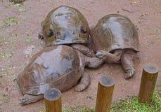 Drie reuzeschildpadden die van Aldabra samen op een regenachtige dag komen Royalty-vrije Stock Afbeelding