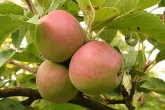 Drie rijpe appelen op tak stock afbeeldingen