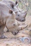Drie rinocerossen Royalty-vrije Stock Foto's