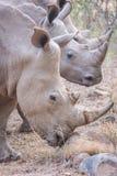 Drie rinocerossen Royalty-vrije Stock Afbeeldingen
