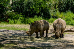 Drie rinocerossen Royalty-vrije Stock Fotografie
