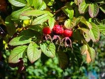 Drie rode bessen op een tak van wildernis namen in een de herfsttuin toe royalty-vrije stock foto
