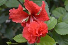 Drie rode bloemen Royalty-vrije Stock Afbeelding