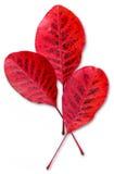 Drie rode dalingsbladeren Stock Afbeeldingen