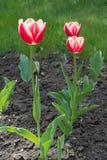 Drie rode en witte bloeiende tulpen in de lente Stock Fotografie
