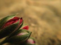 Drie rode knoppen van de geraniumbloem op rotsachtergrond royalty-vrije stock afbeeldingen