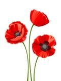 Drie rode papavers Vector illustratie Stock Fotografie