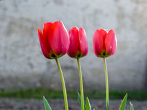 Drie rode tulpen Royalty-vrije Stock Foto's