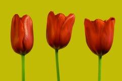 Drie rode tulpen Royalty-vrije Stock Foto's