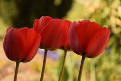 Drie rode tulpen op groene achtergrond royalty-vrije stock afbeelding