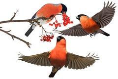 Drie rode vogels en rode bessen op een witte achtergrond Stock Afbeelding