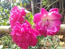 Drie roze bloemen stock foto