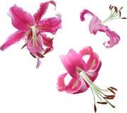 Drie roze die leliebloemen op wit worden geïsoleerd Royalty-vrije Stock Fotografie