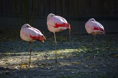 Drie roze flamingo's die zich op één been bevinden die en met het hoofd rusten onder een vleugel wordt geplooid stock afbeelding