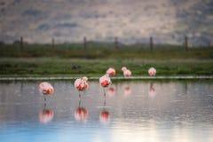 Drie roze flamingo'stribune op één been in het water Shevelev Royalty-vrije Stock Afbeeldingen