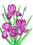 Drie roze irissen Stock Afbeeldingen