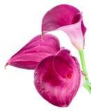 Drie roze, purpere calla lilly geïsoleerde bloemen royalty-vrije stock foto's