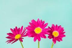 Drie roze pyrethrumbloemen op blauwe hemel als achtergrond Stock Foto's