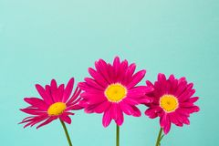 Drie roze pyrethrumbloemen op blauwe hemel als achtergrond Roze madeliefje Stock Afbeeldingen