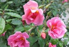 Drie roze rozen volledige bloesem & weinig knoppen & dauw Royalty-vrije Stock Afbeeldingen