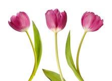 Drie roze tulpen Stock Afbeeldingen