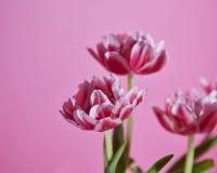 Drie roze witte tulpen tegen een roze achtergrond Stock Afbeeldingen