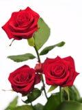 Drie rozen Royalty-vrije Stock Fotografie