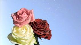 Drie rozen die in super langzame motie druipen stock videobeelden