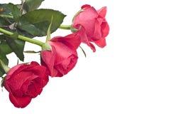 Drie rozen (op de linkerzijde) Royalty-vrije Stock Afbeelding