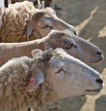 Drie schapen Royalty-vrije Stock Fotografie