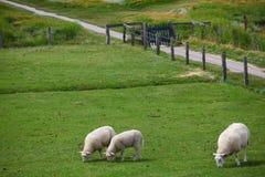 Drie schapen Stock Foto's
