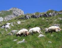Drie schapen bij de berg Stock Foto