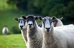 Drie schapen in een rij - nadruk op de juiste schapen stock afbeeldingen