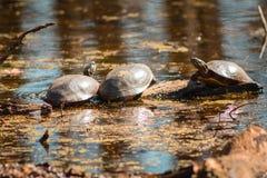 Drie schildpadden die verwarmen op een zonnige dag in een vijver royalty-vrije stock afbeeldingen